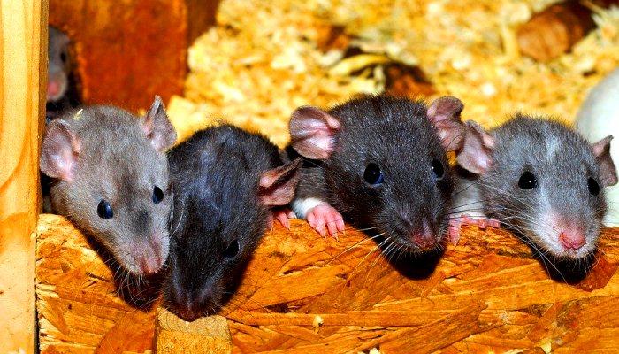 Soñar con una rata en la casa