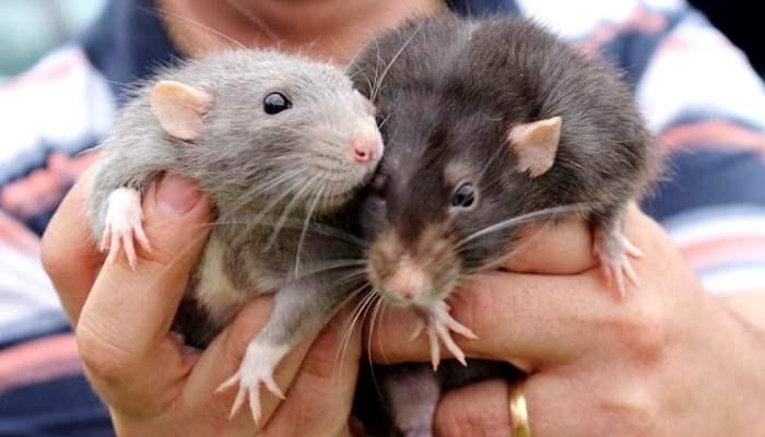 Soñar Con Ratas Gigantes