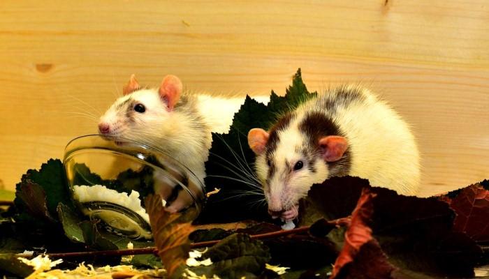 Soñar Con Una Rata Muerta