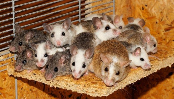 Soñar con ratas como mascota