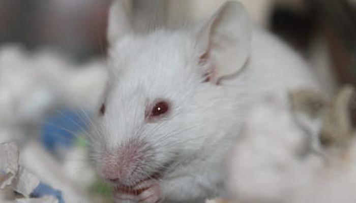 Mascotas ratas en un sueño