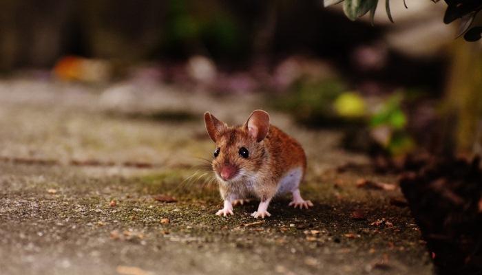 Soñar con ratas que corren