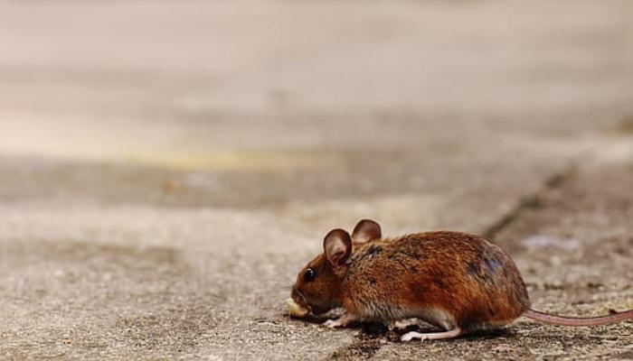 Sueño de ratas que corren en la casa