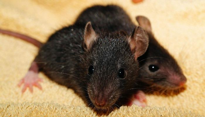 Soñar Con Ratas Sobre La Cama