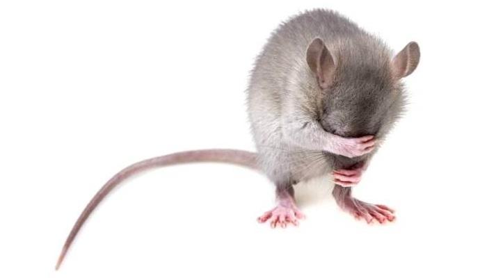 Soñar con ratones grises