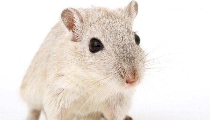Soñar con una rata gris que huye