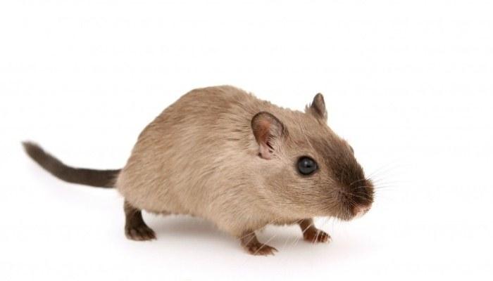 Soñar con ratas color marrón o café