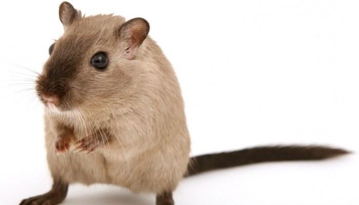 Soñar con ratas cafés