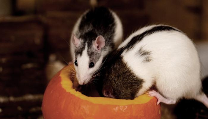 Ratas con vida en un sueño
