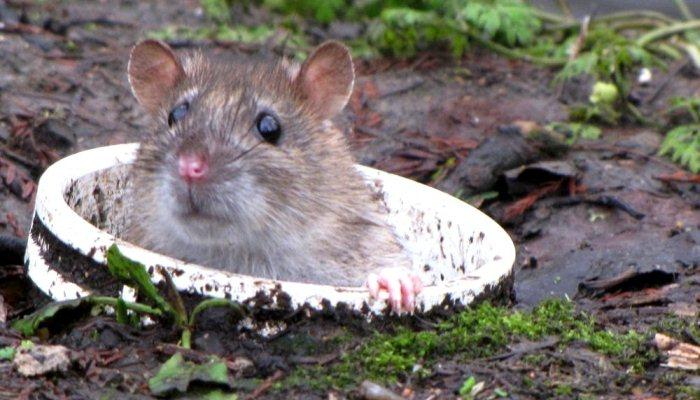 Soñar con una rata viva