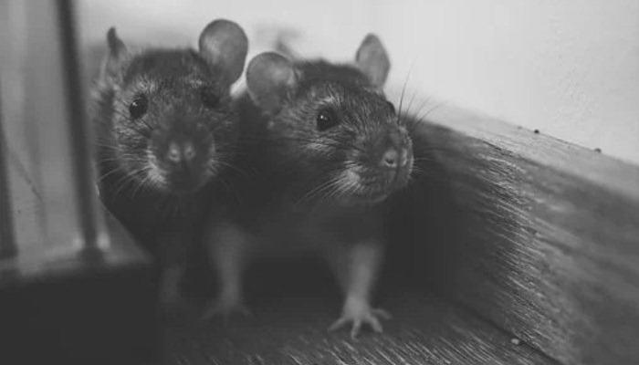 Soñar Con Ratones Y Cucarachas